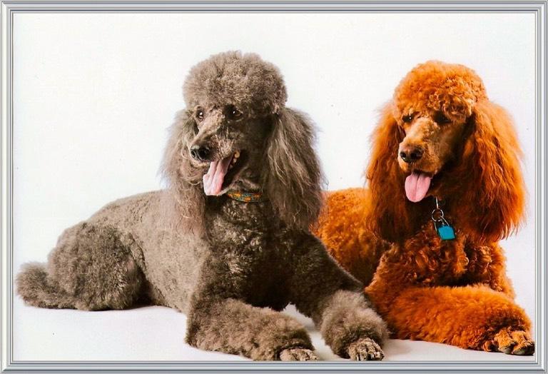 Standard Poodles For Sale Colebrook Nh
